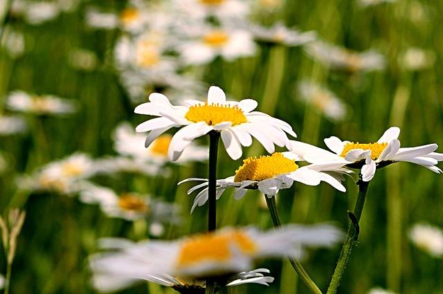 Magaritte, Field, Flower
