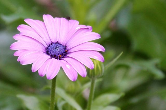 Magerite, Bornholm, Pink, Blossom, Bloom