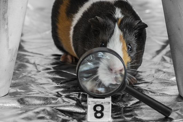 Pet, Guinea Pig, Magnifying Glass