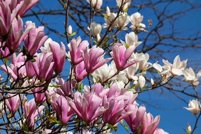 Magnolia, Flowers, Pink, White, Magnolia Blossom