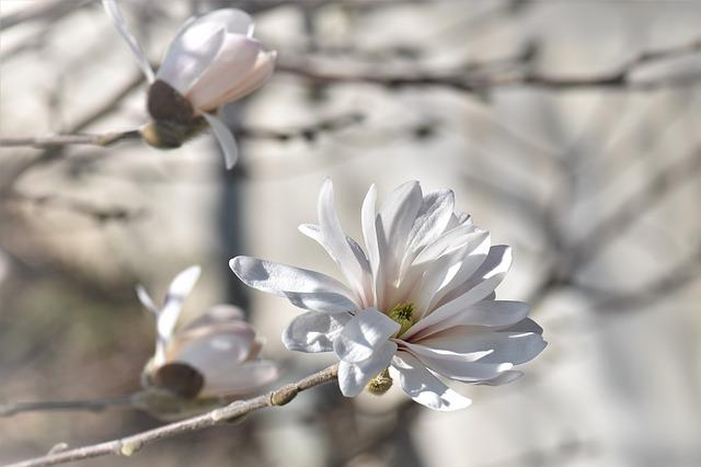 Magnolia, Flower, Blossom, Bloom, Plant, Bush, White