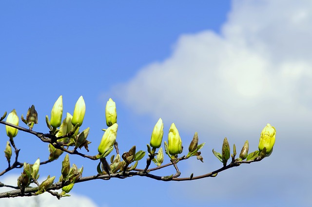 Magnolia, The Buds, Yellow, Twigs, Magnolia Branches