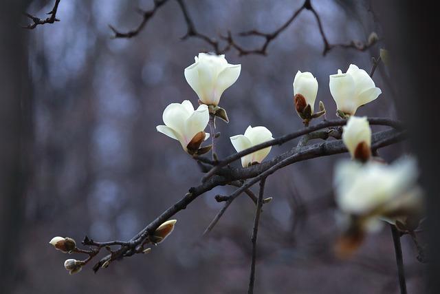 Nature, Wood, Flowers, Season, Magnolia, White Magnolia