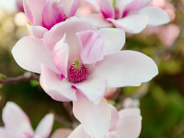 Magnolia Blossom, Pink, Spring, Magnolia