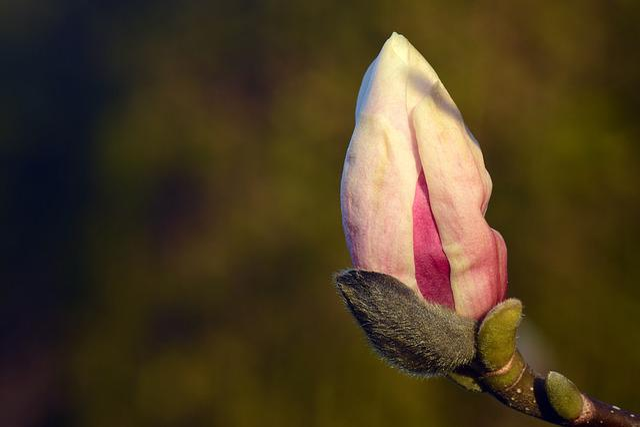 Magnolia, Bud, Blossom, Bloom, Tree, Spring, Close