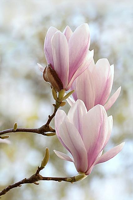 Tulip Magnolia, Magnolia X Soulangiana, Tree, Spring