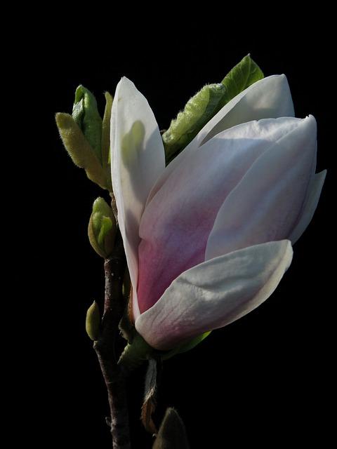 Magnolia, Xsoulangeana, Flower, Plant, Nature