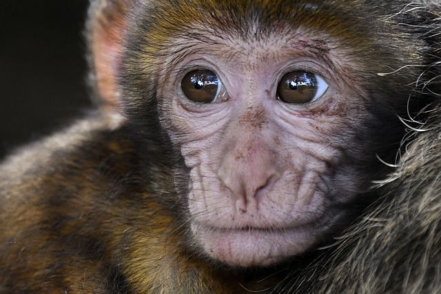 Monkey, Baby, Look, Barbary Macaque, Close Up, Magot
