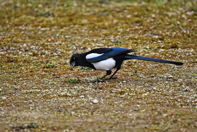 Magpie, Eurasian Magpie, Bird, Animal, Feeding