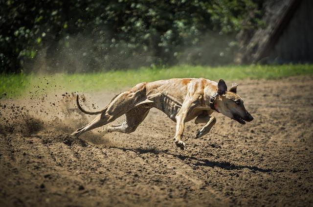 Dog, Greyhound, Magyar Agar, Mammal, My Favorite