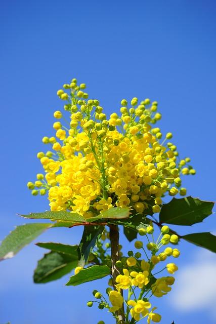 Ordinary Mahogany, Mahogany, Flowers, Yellow, Bush