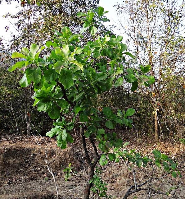Madhuca Longifolia, Tree, Mahwa, Mahua, Iluppai