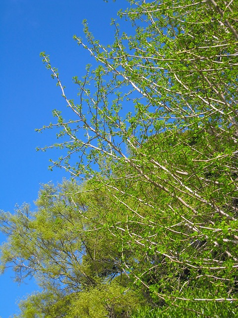 Gingko Tree, Maidenhair Tree, Ginkgo Biloba