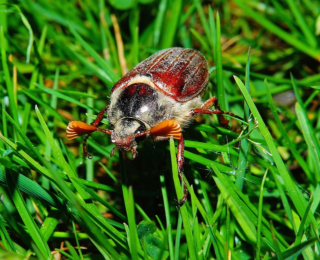 Maikäfer, May, Grass, Rush, Beetle, Spring, Insect