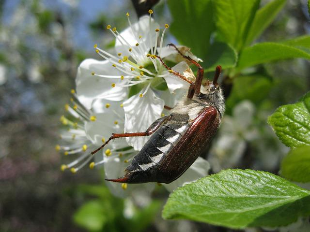 Maikäfer, Spring, Beetle, Apple Blossom, Insect, May