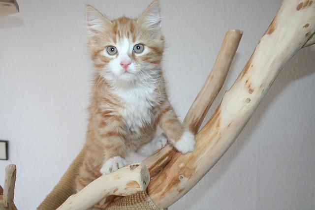 Main Coon, Maincoon, Cat, Kitten, Cat Baby, Red