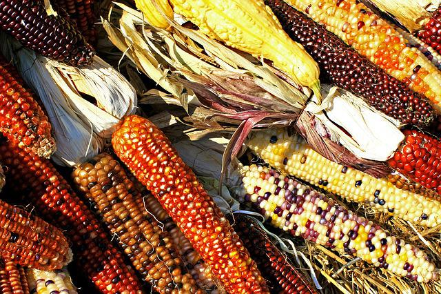 Corn, Cobs, Maize, Harvest, Biodiversity, Food
