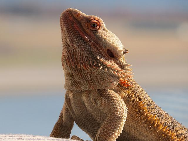 Bearded Dragon, Critter, Majestic