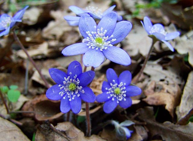 Májvirág, Forest Flower, Blue