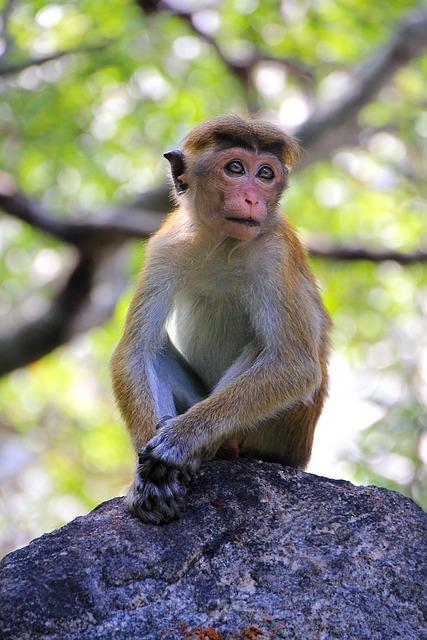 Monkey, Makake, Sri Lanka, Cute, Sad, Primate, Funny