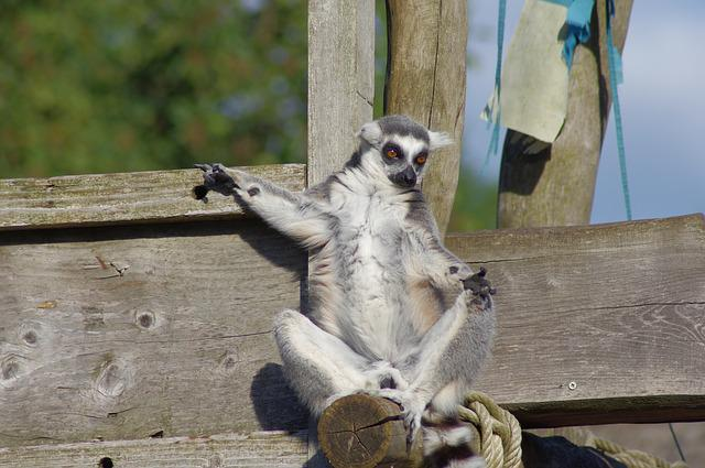 Maki Catta, Lemur, Zoo