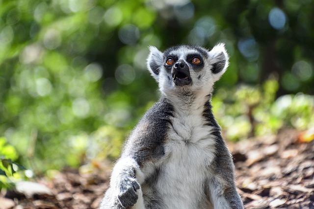 Lemur, Maki Catta, Look, Surprised, Eyes, Eye