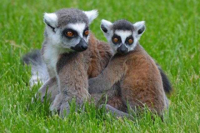 Lemurs, Lemur, Animal, Mammal, Monkey, Maki, Nature