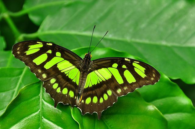 Malachite, Butterfly, Siproeta, Stelenes, Green, Nature