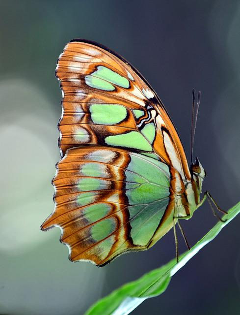 Malachite, Spirotea Steles, Butterfly, Yellow, Colorful