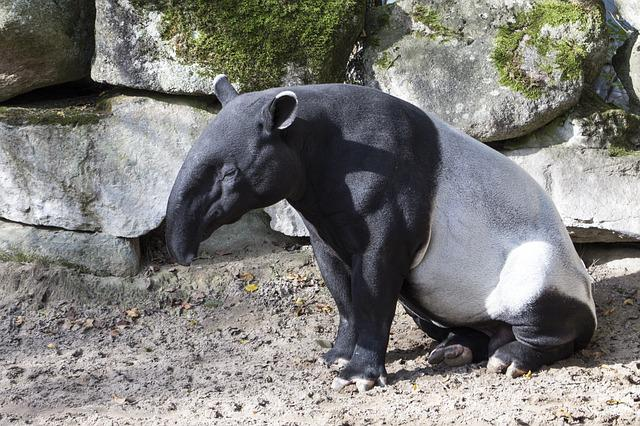 Malayan Tapir, Asian Tapir, Animal, Nature, Tapir