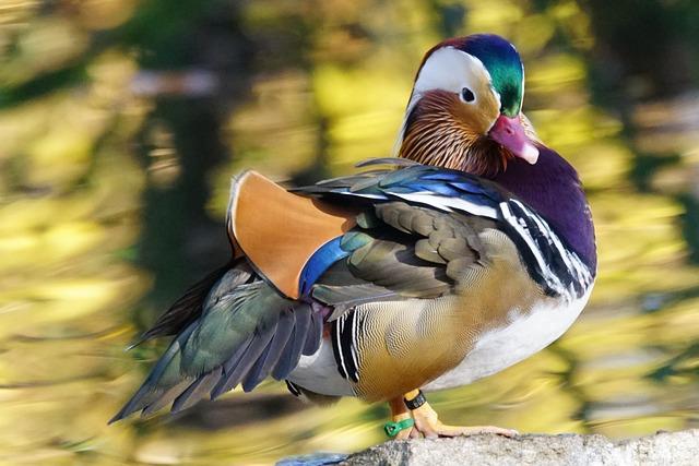 Animals, Bird, Duck, Mandarin Ducks, Male