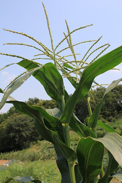 Maize Tassels, Tassel, Male Flower, Corn, Sweet Corn