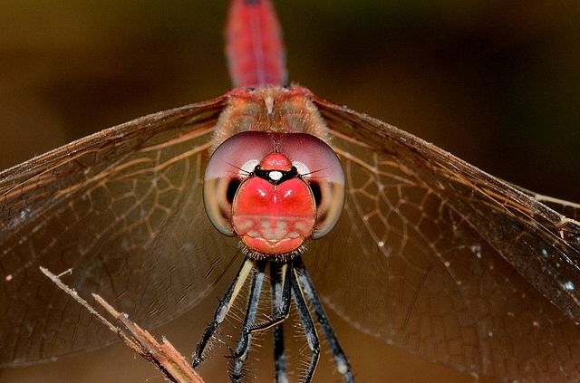 Dragonfly, Sympetrum, Fonscolombii, Male