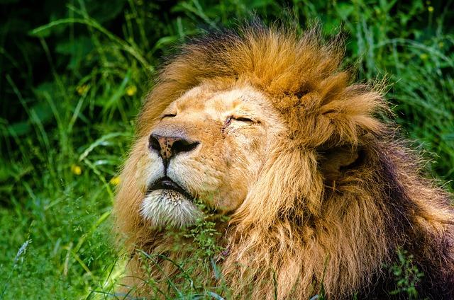 African Lion, Lion, Male, Mane, Lazy, Cat, Animal