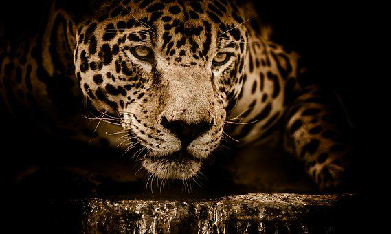 Jaguar, Water, Stalking, Eyes, Menacing, Fearsome, Male