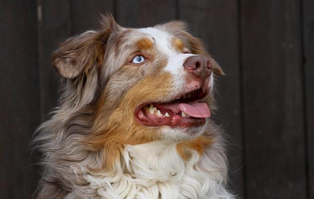 Odin, Male, Australian Shepherd