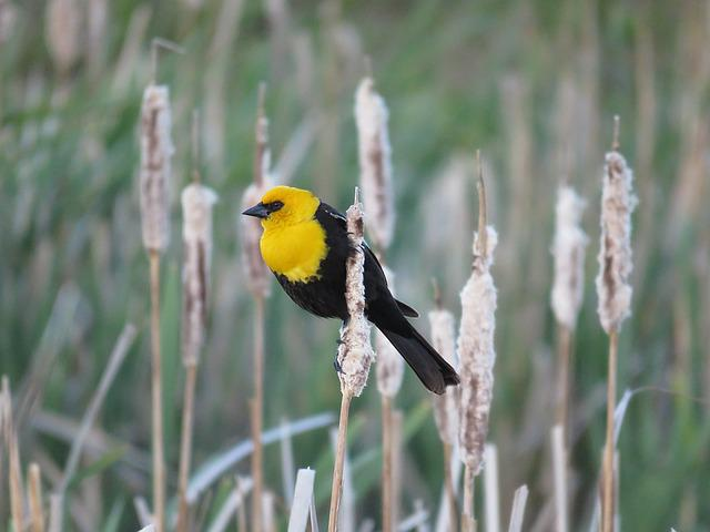 Male Yellow-headed Blackbird, Blackbird, Marsh Bird