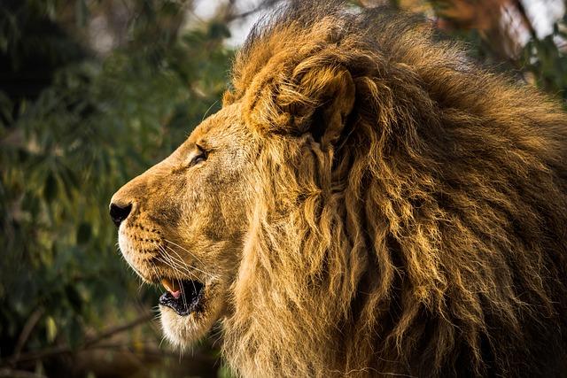 Lion, Mane, Zoo, Cat, Predator, Males, Wildcat, Head