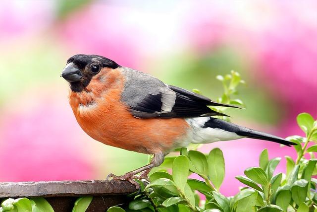 Bullfinch, Pyrrhula, Bird, Males, Young, Foraging