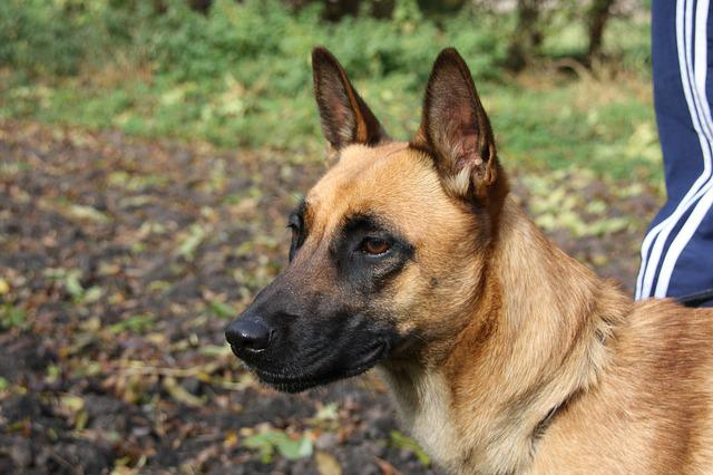 Malinois, Belgian Shepherd Dog, Bitch