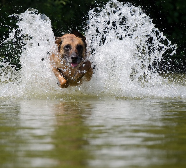 Water, Jump Into The Water, Malinois, Lake, Summer
