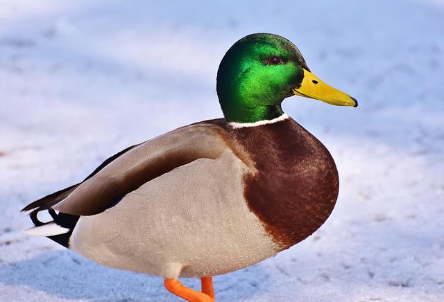Duck, Drake, Water Bird, Mallard, Bird, Feather, Wing