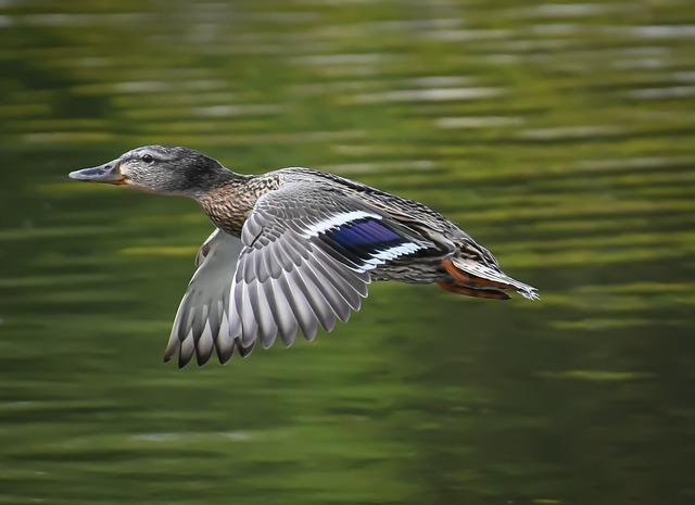 Mallard, Drake, Flying, Water Bird, Duck Bird, Bird