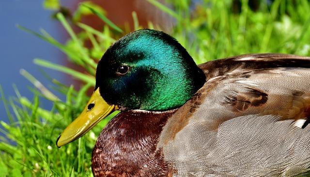 Duck, Mallard, Drake, Water Bird, Duck Bird, Animals