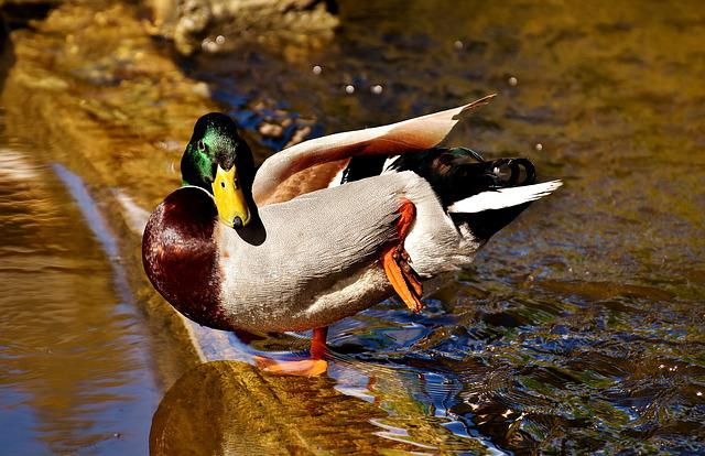 Duck, Mallard, Drake, Water Bird, Duck Bird, Animals