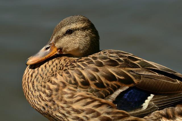 Mallard, Duck, Female Mallard, Anas Platyrhynchos