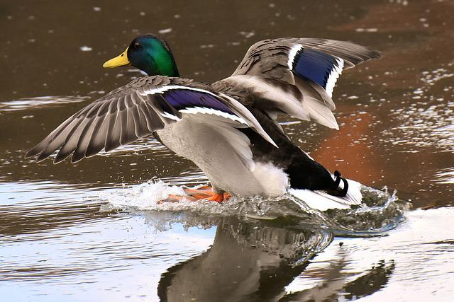 Mallard, Males, Fly, Land, Water Bird, Bill