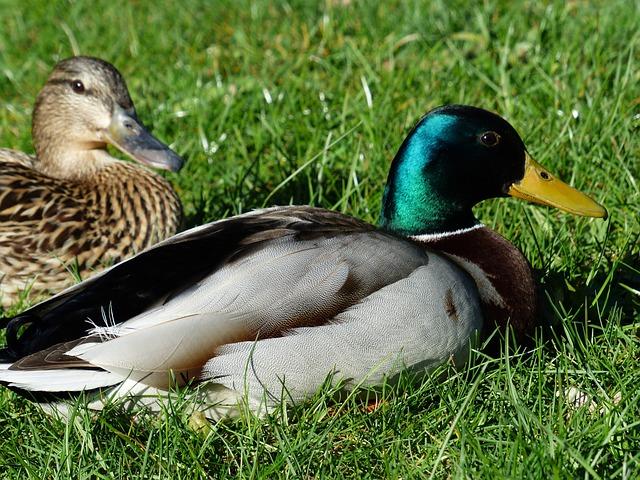 Pair Of Ducks, Couple, Ducks, Mallard Pair