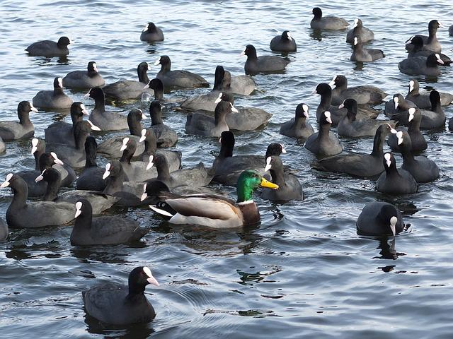 Coots, Mallard, Water, Anders, Affiliation, Group