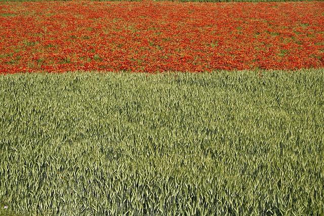 Mallorca, Nature, Field Of Poppies, Cornfield